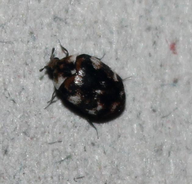 Carpet Beetle Control in Ealing